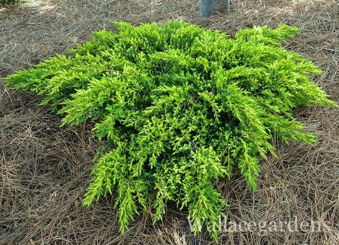 14 best pine tree landscaping peculiarities images on for Low growing landscape plants