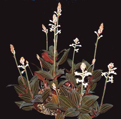 "ludisia ""jewel orchid"""