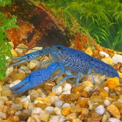 Electric Blue Lobster This crayfish is native to Florida. The Electric Blue is best suited for the intermediate aquarist due to the fact that it is very aggressive. Since it is so aggressive it is neither inter-species compatible nor community aquarium safe.