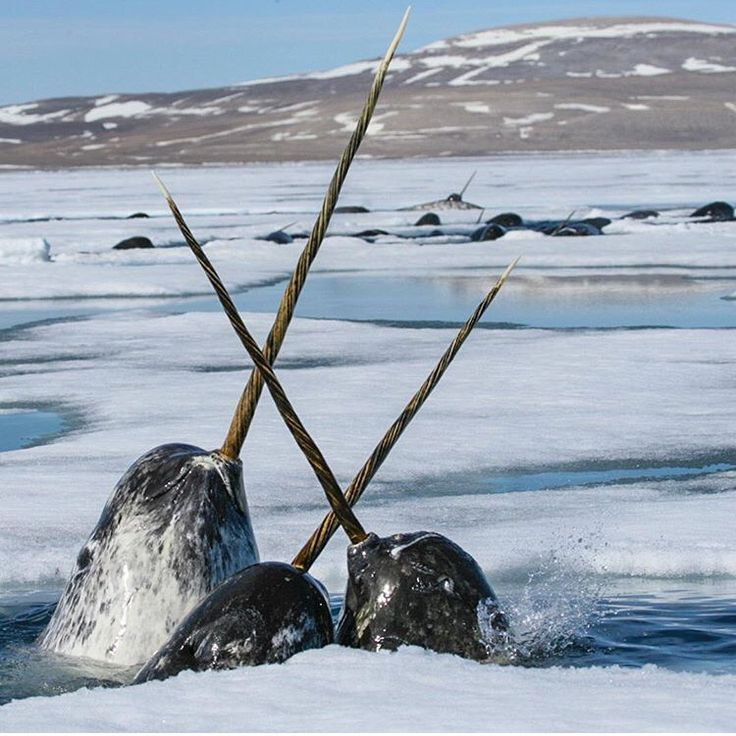 Narwhals-national geographic