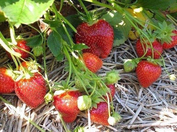 Az eper az egyik legközkedveltebb gyümölcsünk, fogyasztjuk nyersen, de számos sütemény ízesítője is lehet. A szezonálisan nyári gyümölcs napjainkban már egész évben