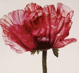 Irving Penn - Poppy from his book Flowers by William Arthur Fine Stationery, via Flickr