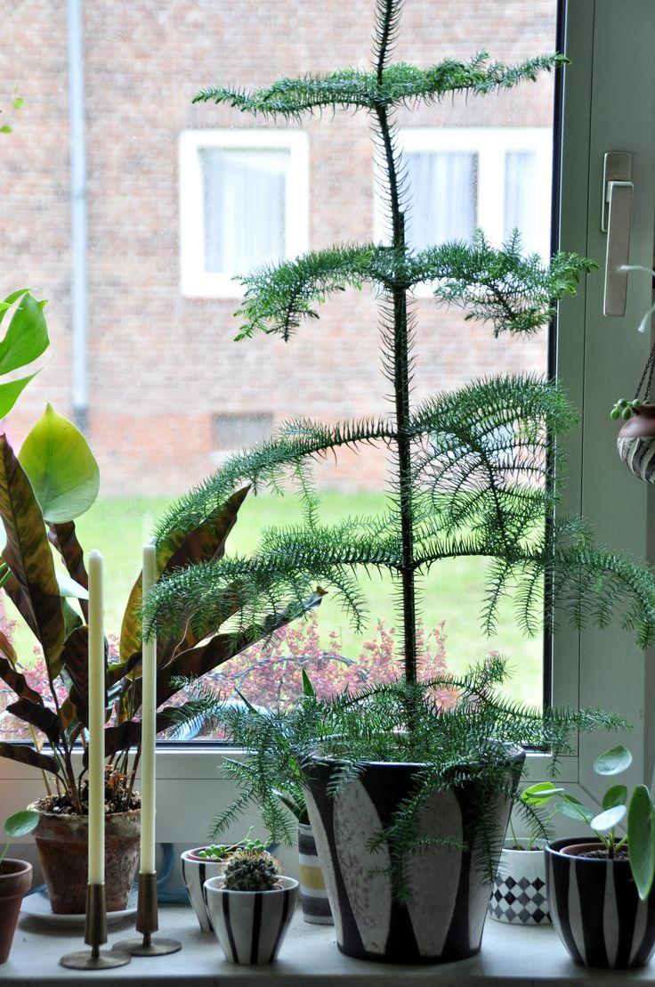 Araucaria heterophylla | Flickr - Photo Sharing!