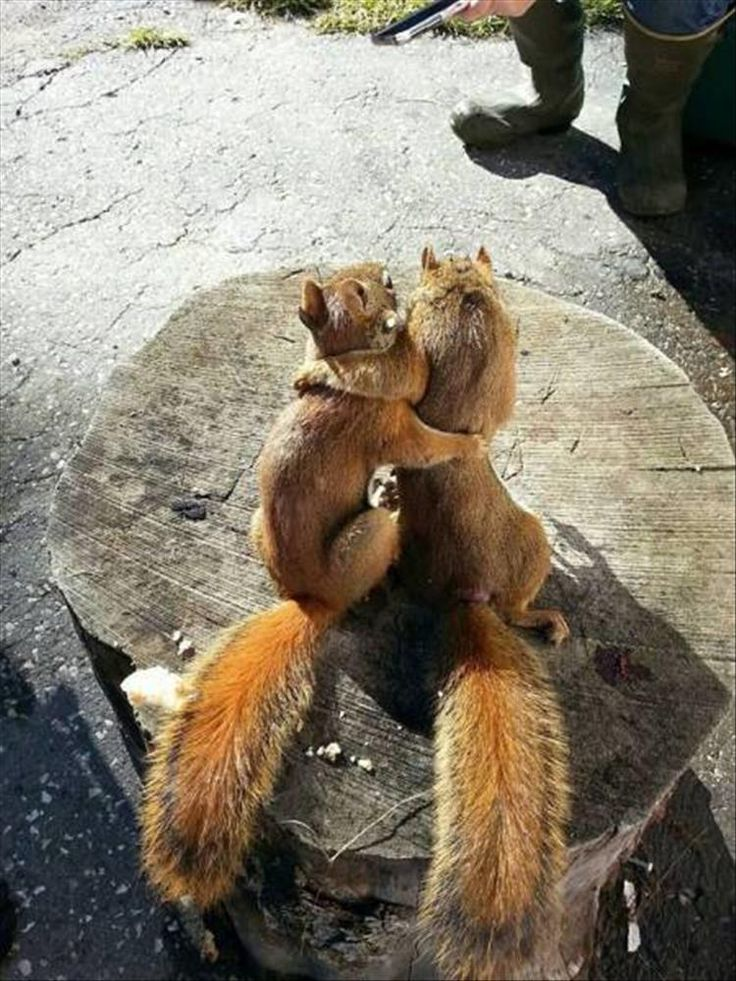 'Love is Bliss' - Cute pair of Red Squirrels