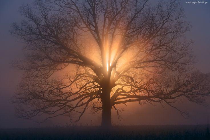 Drzewo, Zachód, Słońca, Przebijające, Światło, Mgła