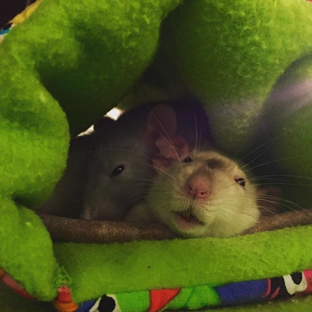 Sisters cuddle sesh 3. Check links in bio to custom-create your own accessories We produce for your #rat #guineapig #chinchilla #mouse #hamster #degu #gerbil #ferret #rabbit and #hedgehog #rats #ratsofinstagram #hammock #guineapigsofinstagram #cavy #rodent #mice #animallovers #hamstersofinstagram  #etsyshop #etsyseller #petsofinstagram #handmadewithlove #handmade #rabbitsofinstagram #bunniesofinstagram #hedgehogsofinstagram #montreal #quebec