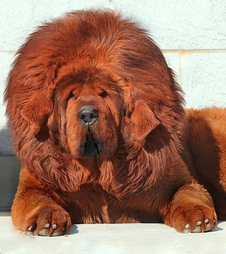 Hi I'm a red Tibetan Mastiff... I was raised in a monestary & became the most expensive dog my purchase price ($1.5 Mil)