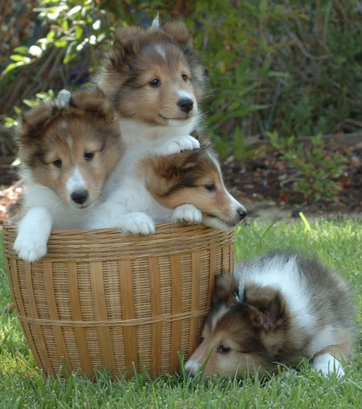 Adorable little Collie puppies.  What a bunch of sweethearts.  #puppied