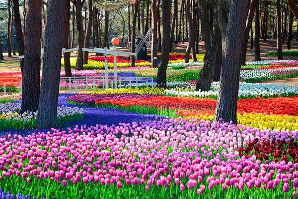 ▲幻想的な青の世界を生み出す「ネモフィラ」(開花時期:4月中旬~5月上旬)▲取材した3月中旬、春の訪れを一足先に知らせる梅がきれいに咲いていました(開花時期:2月上旬~3月中旬)▲約550品種、100万本のスイセンは国内最多クラスの規模を誇