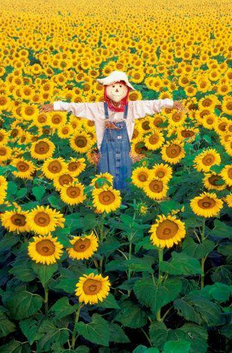Sunflowers – #Bacafleurspourl'ete #Havredepaixjardin #Jardinierdébutant #Jardin…