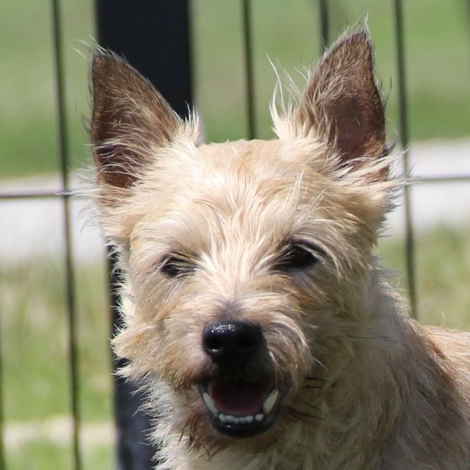 Adopt Al On With Images Dog Adoption Dogs Cairn Terrier