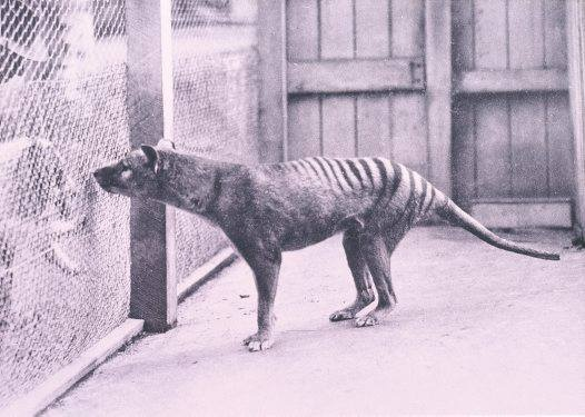 """""""Endling"""" might just be the loneliest term in the English language. An endling is the last member of a species or subspecies, and when this lone individual dies its species is extinct.   The animal in the photo is Benjamin, the last thylacine (or Tasmanian Tiger). Benjaminlived out his days in Hobart Zoo. On the 7th of September, 1936, Benjamin died due to neglect. Other species endlings have included the last quagga and the Caspian tiger, though there are certainly more we don't know of."""