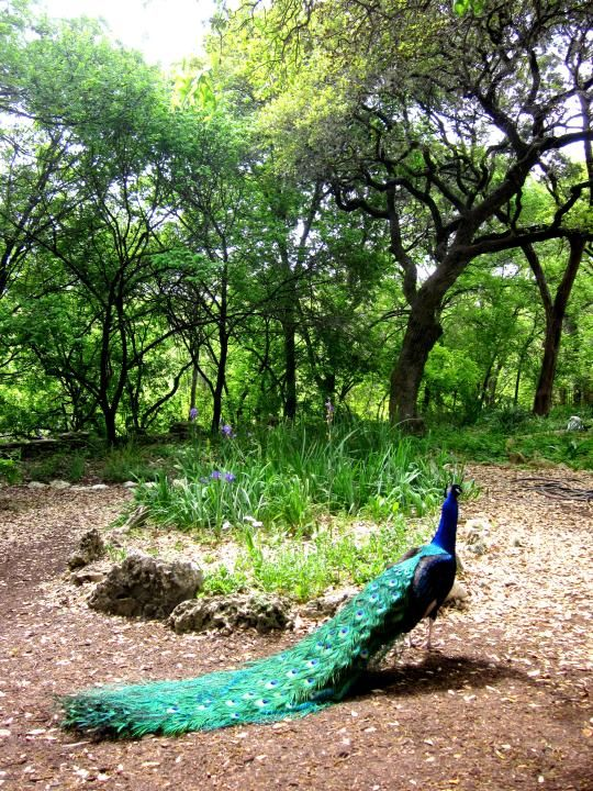 Peacock in the gardens of Mayfield Park and Nature Preserve in Austin TX. There are beautiful flower gardens and lily ponds at Mayfield Park and the peafowl wander the grounds. There are also hiking trails - it's a prefect place for a break from the city without leaving it - SoloTripsAndTips.com