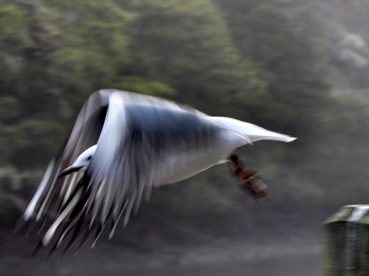 Taking off. Seen on an early morning walk by the Mahurangi River, Warkworth. Photo: Su Leslie