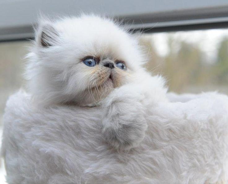 Persian Kitten | Cattery Vlokske | Belgium