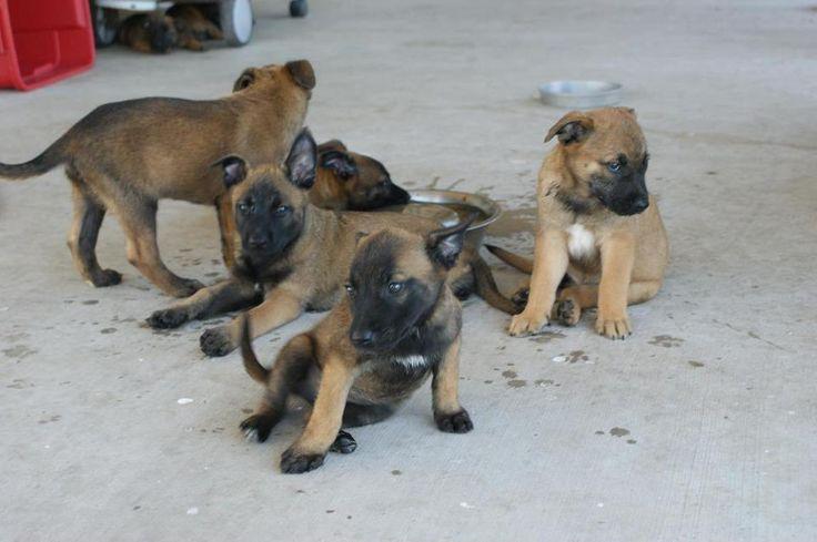 Belgian Malinois Puppies Texas | Belgian Malinois Puppies for sale - LiveSimon Classifieds