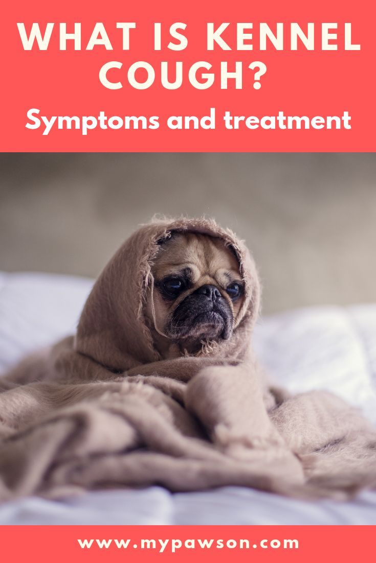 Pet Parents Usually Recognise Kennel Cough When Their Dog Has A