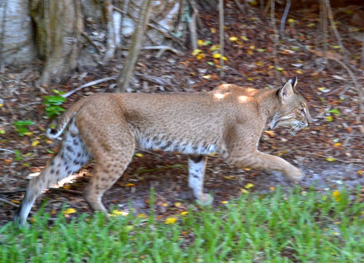 Bobcat spotted on Sanibel Island