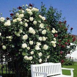 Дом и Сад - Роза плетистая Мон Блан