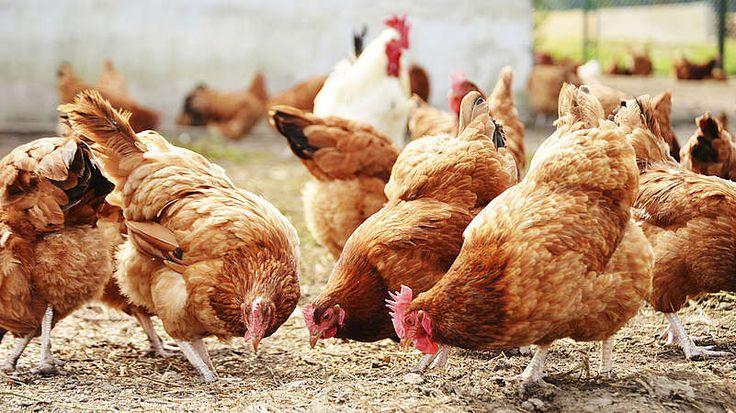 Wie entsteht das Ei?-Die Henne braucht theoretisch keinen Hahn, um ein Ei zu legen – nur wenn daraus Küken schlüpfen sollen (sogenannte Bruteier). Konsumeier sind in der Regel unbefruchtete Eier, die für den Verzehr erzeugt werden. Während Legehennen fast täglich ein Ei legen, kommen wildlebende Hühner auf etwa 60 Eier im Jahr. Übrigens: Hühner sind Meisterinnen der Verhütung! Mögen sie ihren Geschlechtspartner nicht, können sie dessen Sperma wieder ausstoßen.