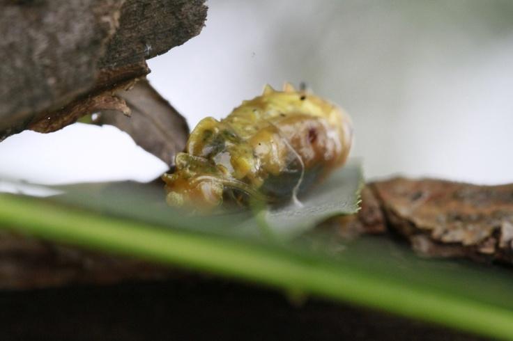 larva_01