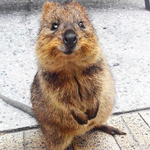 Best 25+ Quokka animal ideas on Pinterest | Quokka ...  Best 25+ Quokka...