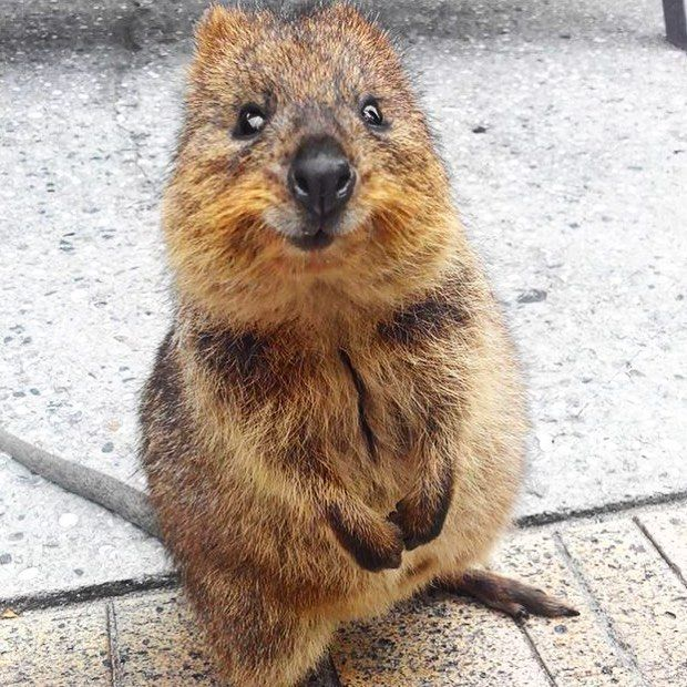 quokka smiling - photo #20