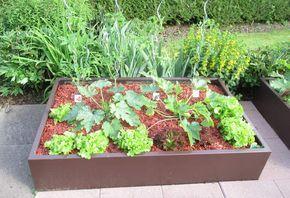 Après la récolte d'une salade, il faut en repiquer de suite
