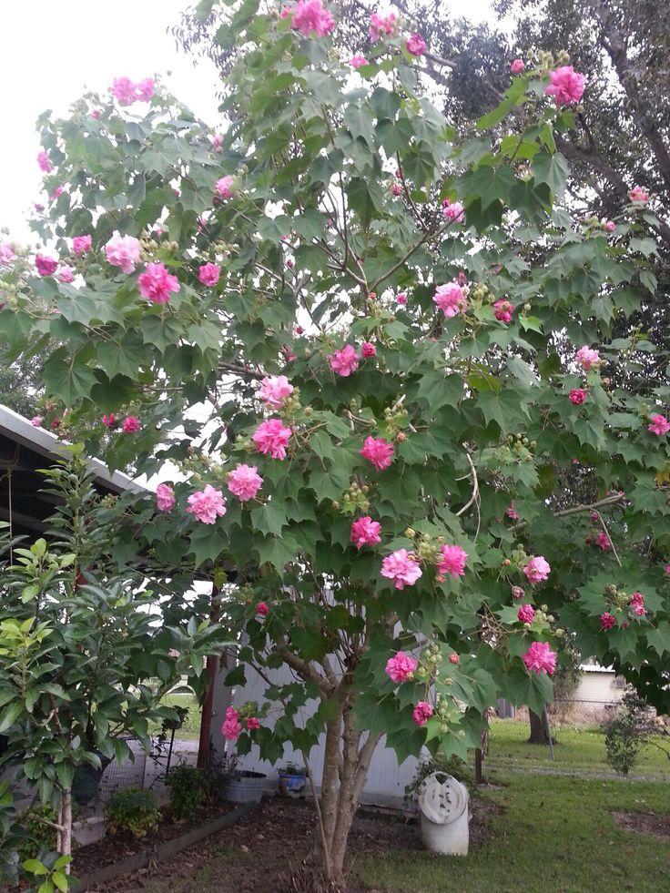 My moms confederate rose tree. Isn't it pretty ❤️