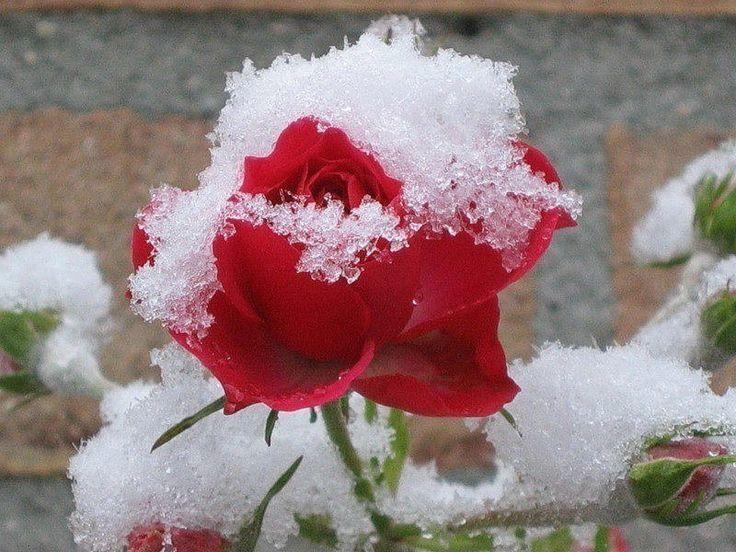 http://ok.ru/group/54333447929867  Подготовка роз к зиме   Чтобы развести на даче настоящий розарий или просто вырастить красивый розовый куст, нужно уметь заботиться о розах не только летом, но и зимой. Очень важно правильно подготовить ваши розы к зимним холодам. Основные осенние хлопоты в этом случае приходятся на октябрь-ноябрь.   Чтобы розы хорошо перезимовали  ОБРЕЗКА  Для успешной зимовки роз большое значение имеет правильная обрезка. Однако проводить ее можно только в сухую…