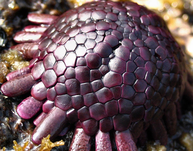 Helmet Urchin, native to Hawaii.