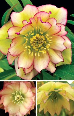 """HELLEBORUS 'AMBER GEM' WINTER JEWELS® STRAIN Code: 5HELAMBG Genus/Common Name: Helleborus/Christmas Rose Size: 12"""" tall x 24"""" wide Plant zone(s): 5-8 Price: $26.95 Light Requirements: partial shade/full shade"""