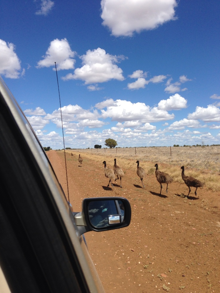 Traffic hazard out witnessing near Blackall western Queensland. Emus
