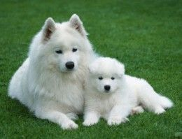 An Adult American Eskimo dog and a puppy.....so cute :)