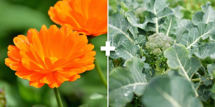 Companion Planting: Calendula + Broccoli (Flowers exude sticky substance on stems attract aphids & traps them. It brings beneficial ladybugs to dine on aphids.)