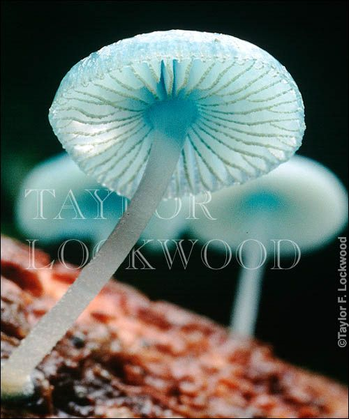 Mycena interrupta, commonly known as the Pixies' Parasol, is a species of mushroom. It has a Gondwanan distribution pattern, being found in Australia, New Zealand, New Caledonia and Chile.