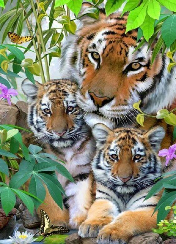 El tigre (Panthera tigris) Los tigres pueden reproducirse en cualquier época del año, aunque crían más frecuentemente en invierno o primavera. El periodo de gestación es de unos 103 días. Normalmente tienen dos o tres cachorros, aunque pueden llegar a seis. Las crías nacen ciegas y pesan aproximadamente 1,2 kg cada una. Los ojos se abren normalmente en el décimo día, aunque se han registrado algunos cachorros en cautividad que nacieron con los ojos abiertos.