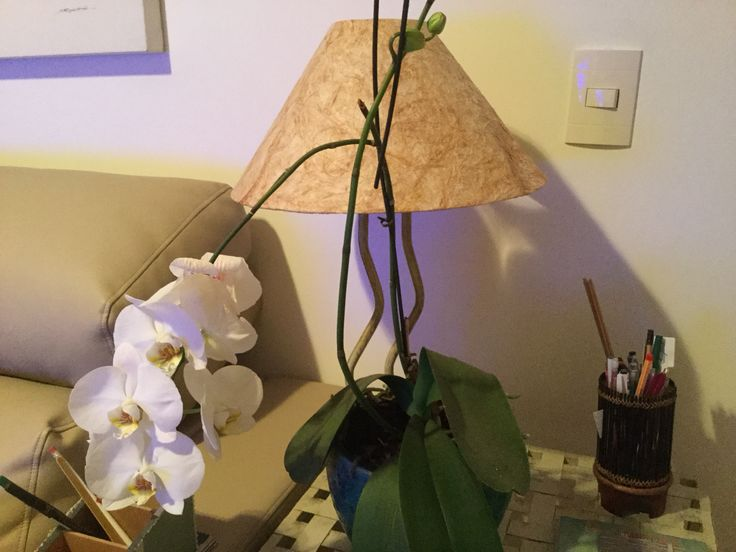 A primavera já chegou em casa. Todas as orquídeas estão floridas!