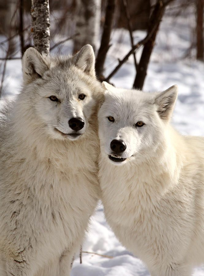 Arctic Wolves Close Together In Winter Photograph by Mark Duffy - Arctic Wolves Close Together In Winter Fine Art Prints and Posters for Sale