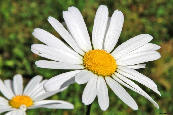 To love or not to love - that is what daisies are for at Midsummer's Eve in Helsinki :)