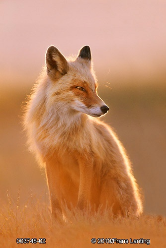 Stunning Red Fox, Photography by Frans Lanting