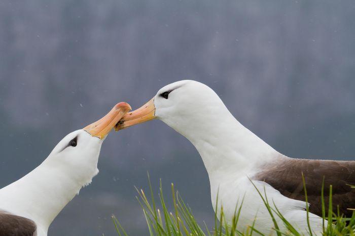 albatros de ceja negra .