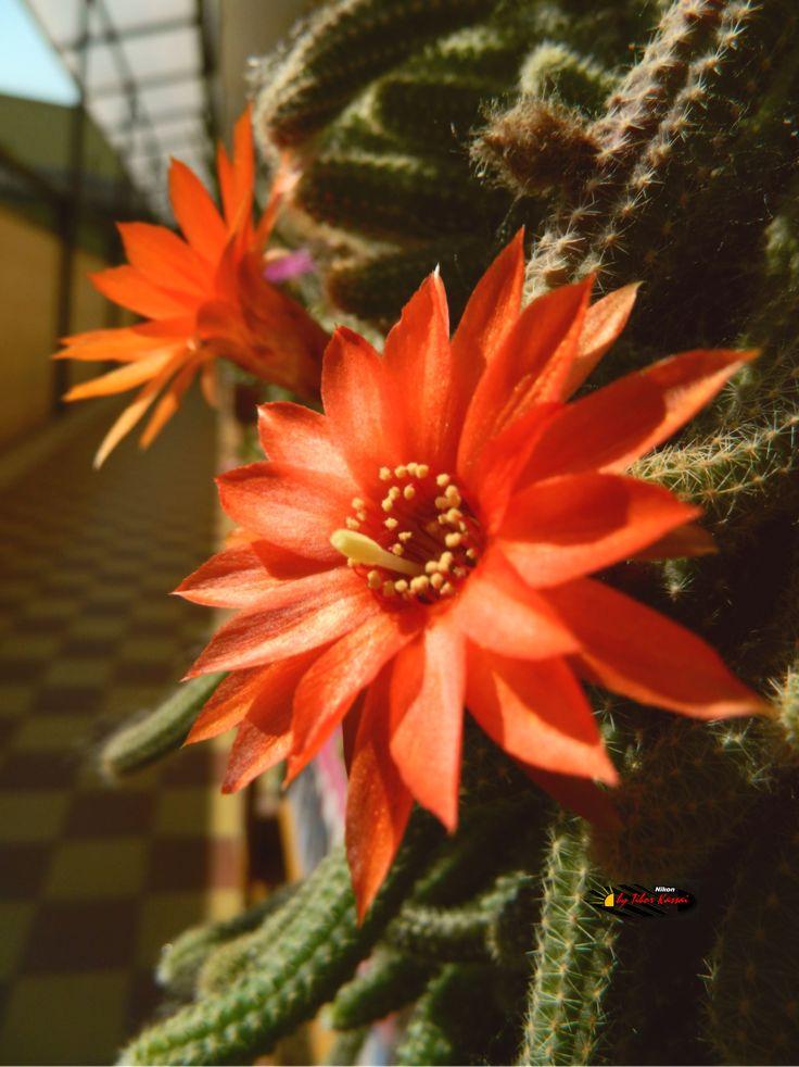 Aporocactus flagelliformis flowers, Nikon Coolpix L310, 4.5mm, 1/250s, ISO80, f/8.7, -1.0ev, HDR photography, 201706040902