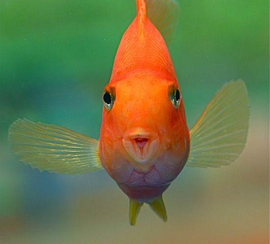 14 best parrot fish images on pinterest fish aquariums for What do fish see