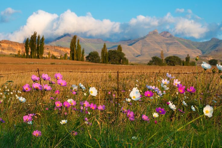 landscape photo of cosmos flowers growing along a fence near Clarens in the Eastern Freestate.