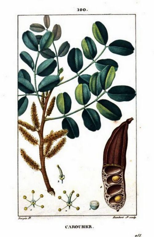 Painting of a carob pod, carob blossoms, carob foiliage from Flore médicale, by F.P. Chaumeton, Chamberet et Poiret, illustrated by E.M., illlustrated by E. Panckoucke and P.J.F. Turpin, published by C.L.F. Panckoucke (Paris), 1815 (on Google Books, original from Sapienza University of Rome (Biblioteca di Biologia Ambientale))