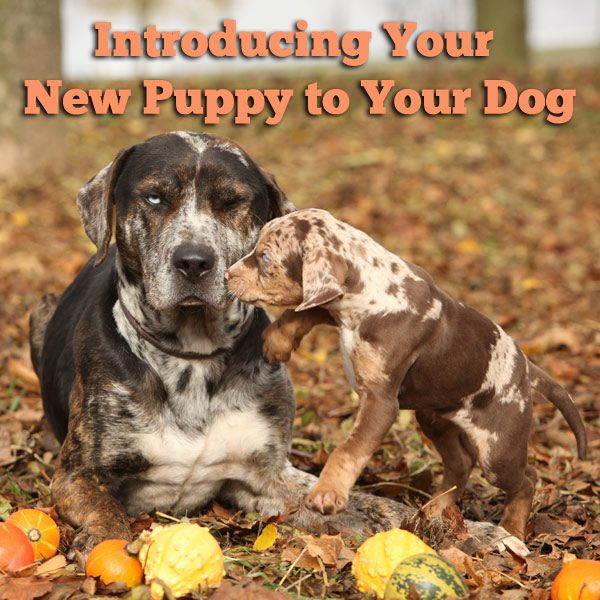 How to introduce your resident dog to a new puppy!