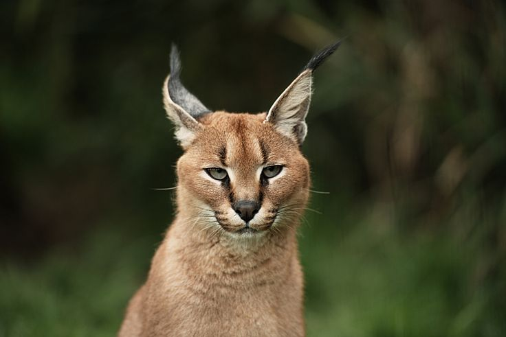 Caracal by Colin Langford on 500px.com