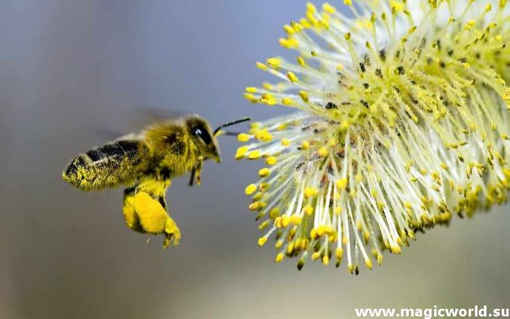 Пчелиная пыльца – это один из ценнейших и полезнейших продуктов пчеловодства наряду с прополисом и маточным молочком. Опыляя цветок, пчела цепляет на свои мохнатые ножки его пыльцу вырабатываемую...