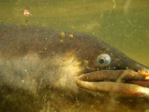 Close up of Longfin eel, Lake Pounui, Wairarapa. Photo: David Kelly.